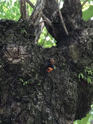オオスズメバチの写真です。
