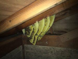 天井裏のハチの巣駆除作業