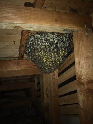 ミツバチの大きな巣が天井裏にあります。
