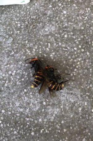 大きなオオスズメバチです。